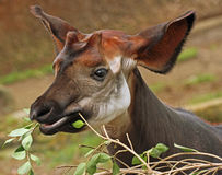 Okapi. Close up of beautiful young okapi feeding on leaves Royalty Free Stock Images