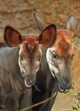 Okapi. Close up of beautiful young okapi and mother Royalty Free Stock Image