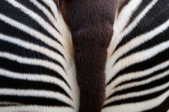 Okapi. An Okapi close up detail Royalty Free Stock Images