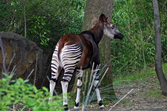 Okapi dans le zoo de Bronx, New York photographie stock