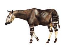 Okapi de girafe de forêt Photographie stock libre de droits