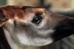 Okapi detail Stock Image