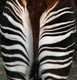 Okapi detrás imagen de archivo libre de regalías