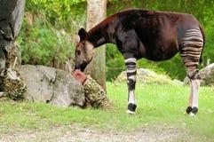 Het eten van de okapi Stock Foto's