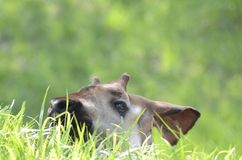 Okapi eating grass Royalty Free Stock Photography