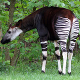 Okapi. Eating in the jungle Stock Photography