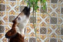 Okapi Stock Image