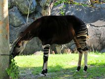 Okapi eating in shade Royalty Free Stock Image