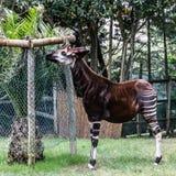 Okapi feeding, Lisbon zoo park Royalty Free Stock Image