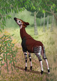 Okapi in forest. Okapi browsing on foliage in rainforest Vector Illustration