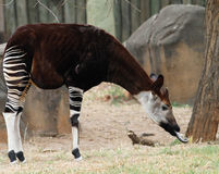 Okapi forest gerafe Royalty Free Stock Photography