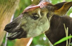 Okapi in a Forest Royalty Free Stock Images