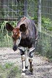 Okapi Frontal Stock Photo
