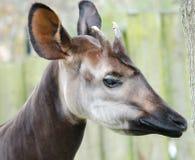 Okapi Giraffia Artiodactyl. A close up of a Okapi Stock Image
