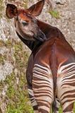 Okapi. The Okapi is a giraffid artiodactyl mammal native to the Ituri Rainforest, located in the northeast of the Democratic Republic of the Congo, in Central Stock Image