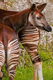 Okapi. The Okapi is a giraffid artiodactyl mammal native to the Ituri Rainforest, located in the northeast of the Democratic Republic of the Congo, in Central Royalty Free Stock Photos