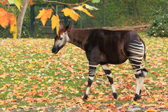 Okapi. The okapi in the grass covered by fallen leaves Royalty Free Stock Photo