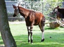 Okapi stock photo