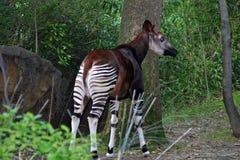 Okapi i den Bronx zoo, New York arkivbild