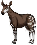 Okapi Stock Photos