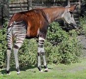 Okapi 1. Okapi in its enclosure. Latin name - Okapia johnstoni Royalty Free Stock Images