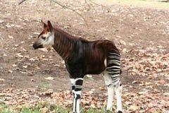 Okapi (johnstoni Okapia) Royalty-vrije Stock Afbeeldingen