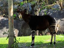 Okapi looking away Royalty Free Stock Photo