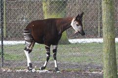 Okapi mâle, johnstoni d'Okapia Photographie stock libre de droits
