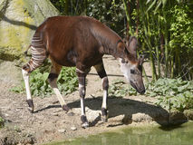Okapi near pond Royalty Free Stock Photography