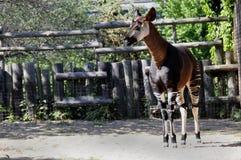 Okapi (O. johnstoni) Stock Photography
