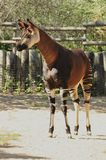 Okapi (O. johnstoni) Stock Photos