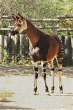 Okapi (O. johnstoni) Royalty Free Stock Photos