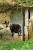 Okapi Okapia johnsoni przy zoo Pretoria, Południowa Afryka Obrazy Royalty Free