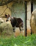Okapi Okapia johnsoni przy zoo Pretoria, Południowa Afryka Fotografia Stock