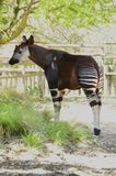 Okapi (Okapia johnstoni) Stock Photography