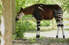 Okapi (Okapia johnstoni) Stock Photos