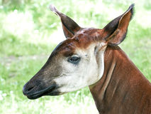 Okapi (Okapia johnstoni) Royalty Free Stock Photography