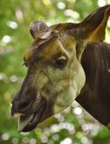 Okapi Okapia johnstoni in a Forest Stock Photography