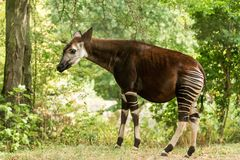 Okapi Okapia johnstoni, forest giraffe or zebra giraffe, artiodactyl mammal native to jungle or tropical forest, Congo, Africa. Okapi Okapia johnstoni, forest stock photography