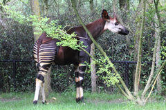 Okapi   Okapia johnstoni Royalty Free Stock Photos