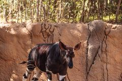 Okapi, Okapia johnstoni, live in the tropical rainforest Royalty Free Stock Image