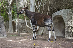 Okapi Okapia johnstoni stands in forest paddock.. Okapi is fou Stock Photos