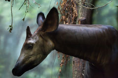 Okapi (Okapia johnstoni). Stock Images
