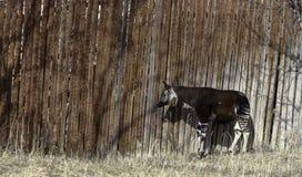 Okapi Okapia johnstoni in Denver Zoo. Okapi Okapia johnstoni in the winter day in Denver Zoo stock images