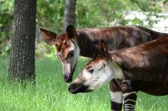 Free Okapi Pair3 Royalty Free Stock Images - 26710139