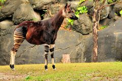 Okapi After the Rain Stock Image