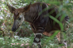 Okapi rare african antilope and zebra crossing. On the forest background Royalty Free Stock Photography