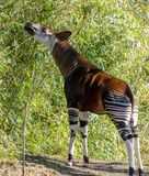 Okapi snack at Bronx zoo. Spring is a good time to see new babies at Bronx zoo and many animals outside. Here, an okapi, un mix between mule and zebra but in stock photos