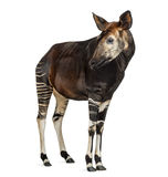 Okapi standing, looking away, Okapia johnstoni, isolated Stock Photo