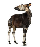 Okapi standing, looking away, Okapia johnstoni, isolated Stock Image